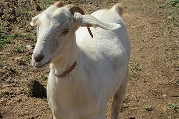 Craigslist Com Oahu >> Duct Tape Used To Steal 23 Goats From A Hawaii Farm