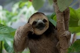 Sloths mistakenly grab their arms instead of the branches of a tree, and they fall to their deaths.