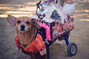 This Wheelchair Dog Has A Sweet Halloween Costume