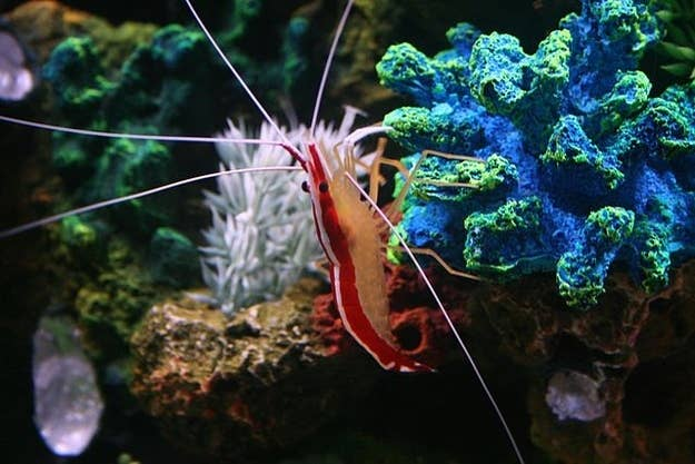 Today your technician will be this scarlet skunk cleaner shrimp (Lysmata amboinensis).