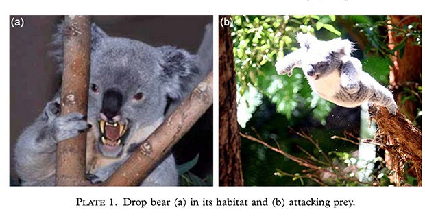 Hikers and bush walkers have been known to be 'dropped on' by Drop Bears (thus their name sake). Most attacks are not fatal and result usually in injuries including bites and scratches (at least in humans).