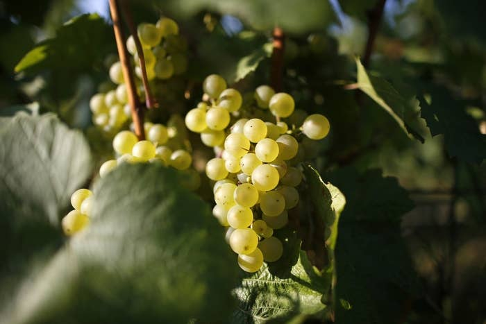 A bunch of Chardonnay grapes are pictured at the Billecart-Salmon vineyard in Mareuil-sur-Ay.
