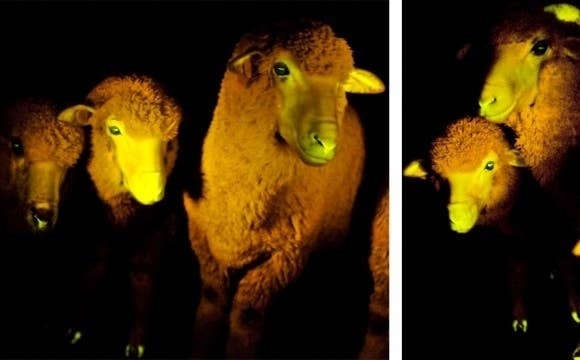 To help differentiate naturally born sheep from their clone counterparts, researchers in Uruguay added the jellyfish protein to the genetically modified sheep. Under UV lights, they are easily distinguishable in a crowd.