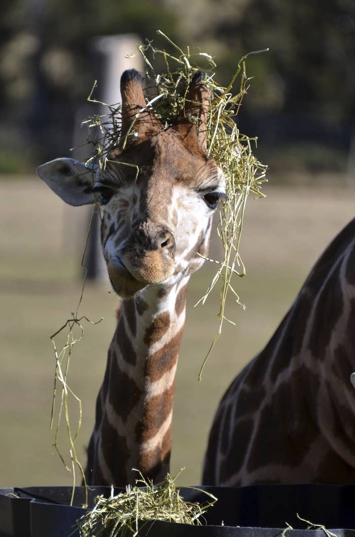 A young giraffe manages to decorate itself whilst enthusiastically feeding.
