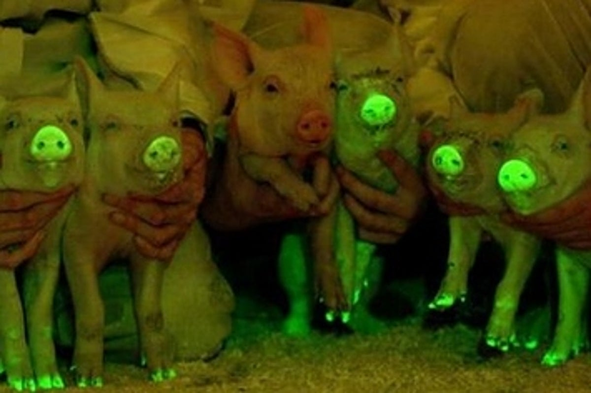 Scientists In China Made Glow-In-The-Dark Pigs