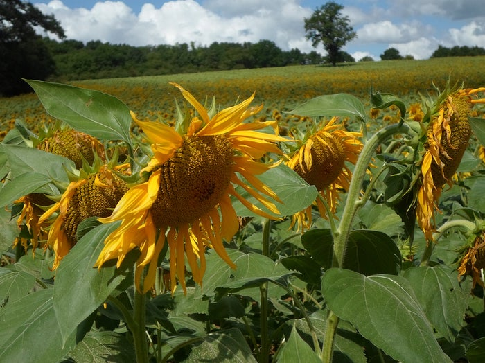 No matter what the weather is like, seeing nothing but rolling hills covered in sunflowers will put a smile on your face.