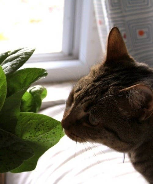 If your cat just so happens to be craving some green stuff, spinach can be an awesome way to go, especially when you are trying to help your pet relieve tummy troubles when they're barfing all over the house. Spinach should not be fed to cats with a history of urinary or kidney problems (In my cat's case, i wont be able to feed her spinach since she always has urinary tract infections), since the calcium oxalates in the leaf can form crystals in the urinary tract.