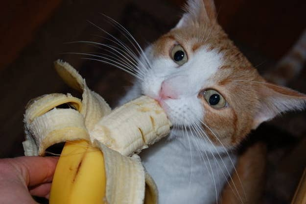If you've got a crazy and wild kitty cat, you can make it behave even more bananas by feeding them the actual fruit. Bananas are a 100% safe and healthy snack to feed your hungry cat if it has that special craving that we sometimes do. Bananas should be fed to your cat only in small portions, since cats are natural carnivores which mean that they love, love, love to eat meat (Explains why one my cats always happens to bring birds and mice in the house!)!
