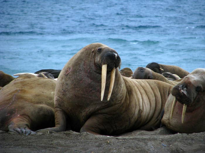 The walrus dwells on both land and sea and is comfortable with the cold thanks to its substantial layer of blubber. The old tooth-walking sea horse--the literal translation of its scientific name 'Odobenus rosmarus'--has a layer about half a foot thick, which can comprise up to a third of its body mass in winter.