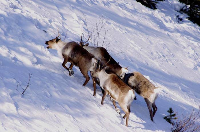 When winter comes, the caribou ditches its light, warm-weather fur for an incredibly effective specialized winter coat and turn to lichen for food.