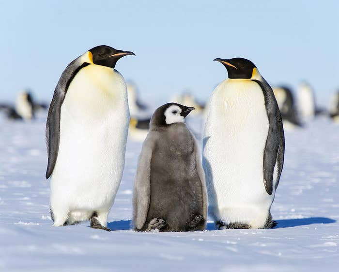 Penguins are warm-blooded, but they do fine in the Antarctic thanks to a hefty layer of subcutaneous fat giving them energy and keeping their body heat contained.Moreover, a study published earlier this year in Biology Letters reported that in emperor penguins, surfaces of the body were actually colder than the surrounding air, meaning its plumage would gain heat by convection.