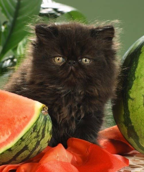 Watermelons are a good bite to feed cats to stop them from chewing and killing all of the house plants. Cantaloupe, honeydew and watermelon are fine for your cat to ingest in small quantities, as long as seeds are removed from the melon. The fruits can help your feline with any type of digestive problems, but should be offered only every once in a while because cats are carnivorous and their bodies can't digest large amounts of plants. They're not built for plants, they're bulit for meat.