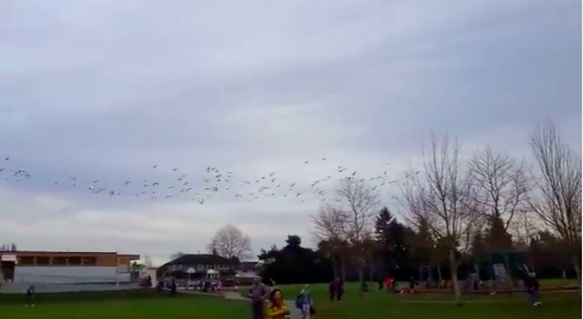 """This """"Geese Tsunami"""" Is Either Incredible Or Terrifying"""