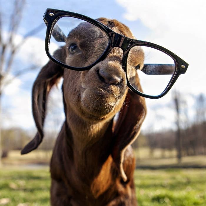 Goats are possibly the original hipsters. Seriously, goats were into coffee way before it was mainstream.