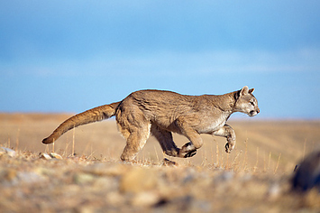 Cougar vs Cheetah dating
