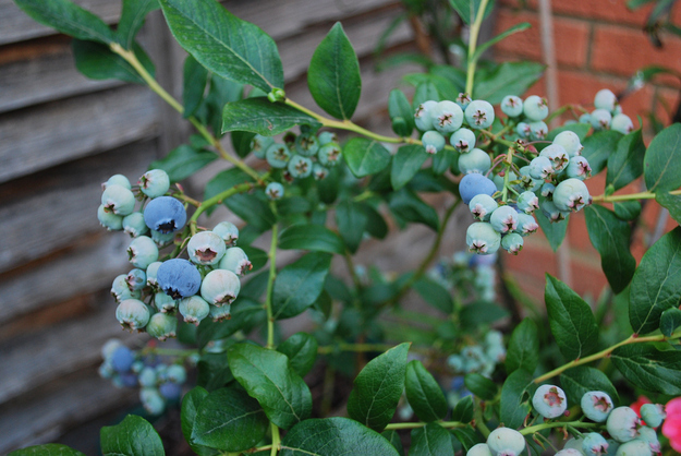 Blueberries grow on spindly little bushes.