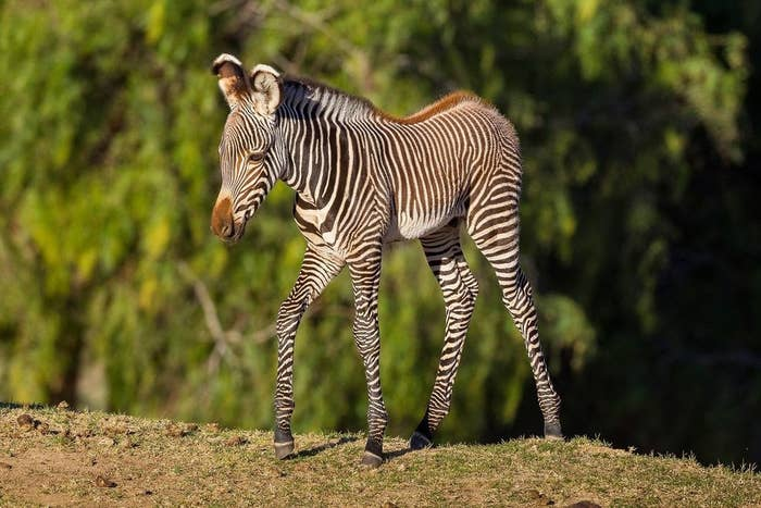 Tanu is a Grevy's Zebra born in San Diego, California on January 3 in San Diego, California. He is the fifth son from his mother, Bakavu, and hopes to stand out by one day fronting a progessive punk band.