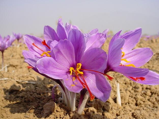 Saffron is the little orange stamen of a special kind of crocus flower.