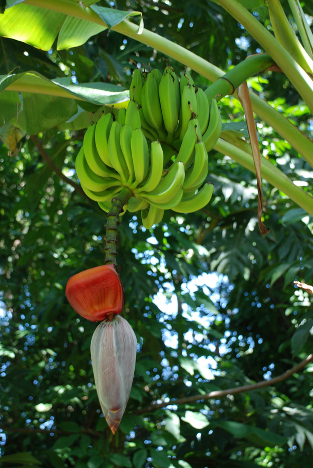 Bananas grow in clumps on tall plants (technically not trees) around a flower spike.