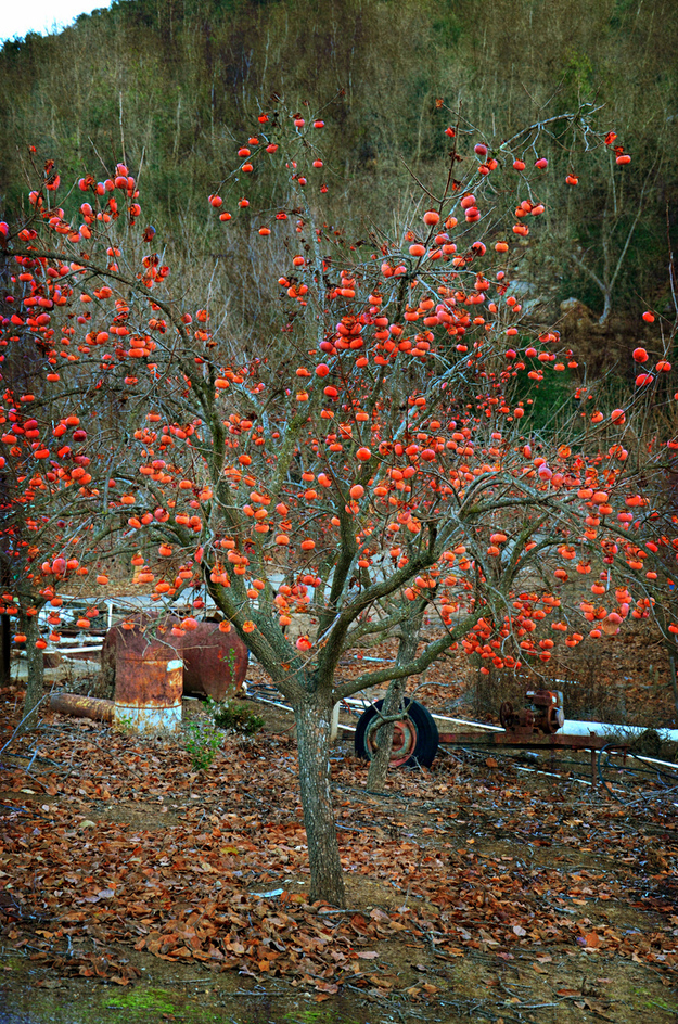 Persimmons grow on a big tree.