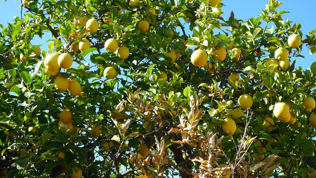 Lemons grow on trees like oranges (that was an easy one — everyone knows that, right?).
