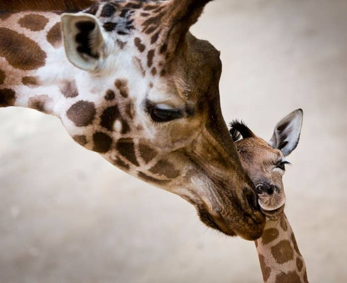 Katja is a female Rothschild Giraffe born in Kronberg, Germany on January 2 at the Opel Zoo. She's one of the rarest breeds of giraffe, and hopes to one-day emulate the other rare-breed of German woman with long legs and neck, Heidi Klum.