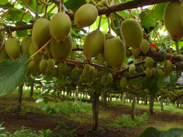 Kiwis grow on vines and are cultivated like grapes. Kiwi vines!