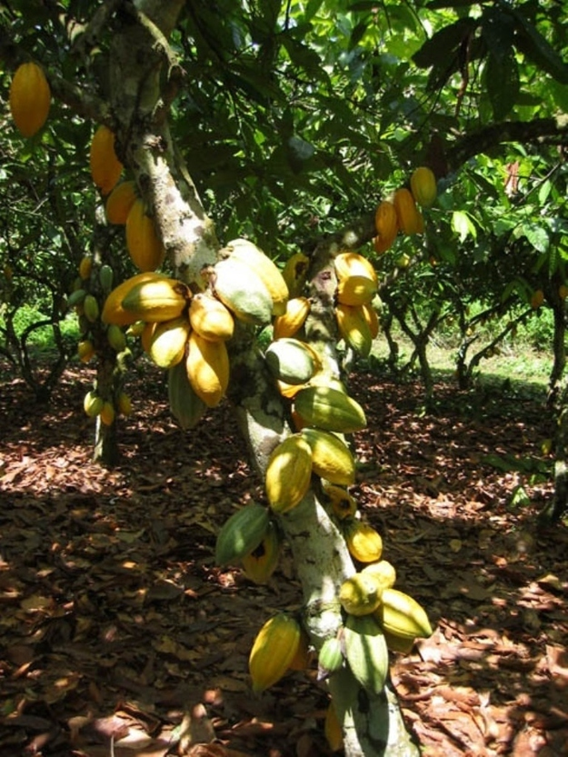 Cocoa beans for chocolate grow inside bright pods on a tree.
