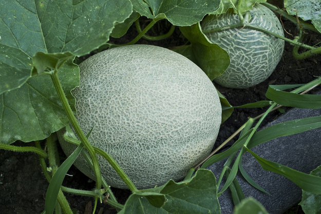 "Cantaloupes grow on the ground like a pumpkin (did you think they grew in trees? I sort of did. I think if I thought hard I'd know they grew on the ground, but my gut said ""trees."" Oh well)."