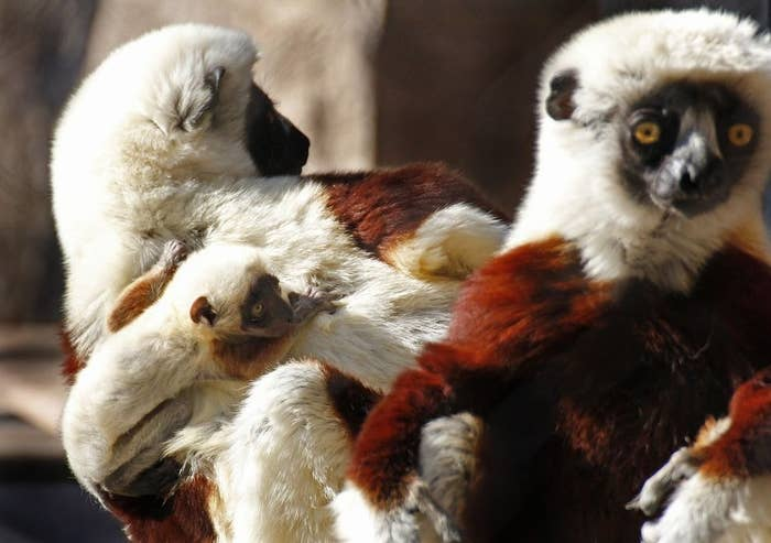 This unnamed Coquerel's Sifaka Lemur was born in Sacremento, California on January 5 at the Sacremento Zoo. He's a boy, and like a true Californian he hopes to learn to surf the waves as well as he surfs his mommy's back.