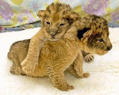 Aren't baby Simba and Nala adorable?