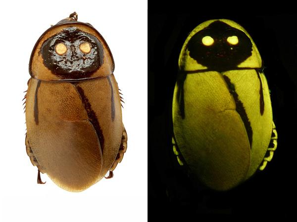 Glow-in-the-Dark Cockroach