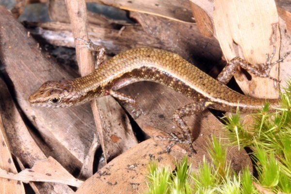 The Cape Melville Shade Skink