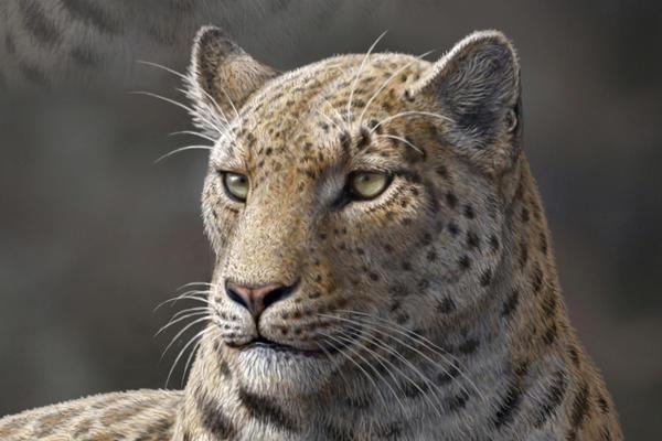 Panthera Blythae