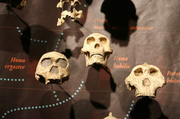 Collection of Hominid Skulls