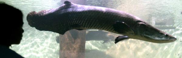 Giant Amazon Freshwater Arapaima