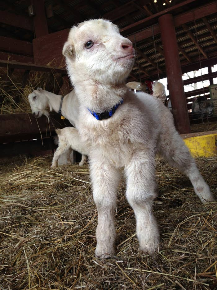 This kid was just born at the Heifer International Ranch in Little Rock, AR. Not only is he cute, but he somehow manages a straight up majestic air, don't you think? Look at that dignified chin!They need help naming him! Does he look like a Gus, Teddy, or Ernie to you?
