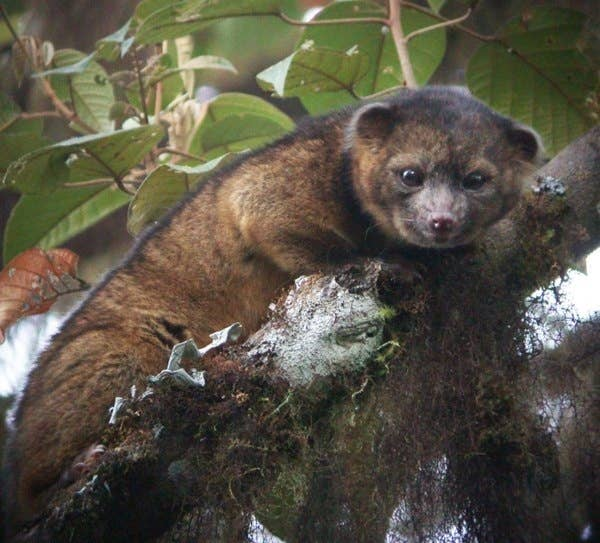 Where was it discovered? The AmazonFun fact: It's closely related to the common raccoon