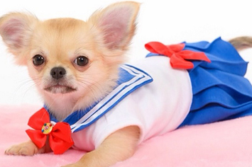 """There's An Instagram Account That Dresses Chihuahuas Up As """"Sailor Moon"""" Characters"""