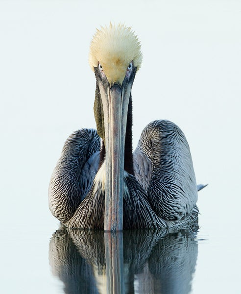 Removed from the Endangered Species list in 2009 thanks to decades of hard work by conservationists, the Brown Pelican nests on island sanctuaries in Galveston Bay. They hunt for fish on open water making them particularly vulnerable to oil spills. Read More