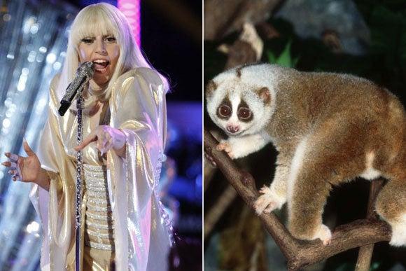 That's right Gaga was allegedly bitten by a slow loris brought in for a music video shoot for her new song G.U.Y. The loris must not have wanted that Gaga girl under him!