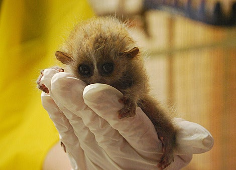 Like very adorable. Above a baby slow loris.