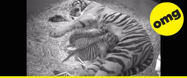 """Would you like to see teeny, tiny, Sumatran TIGER TRIPLETS ON A """"CUBCAM""""!?!?! We can help you with that. - [Discover]"""