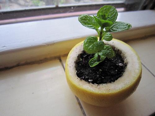 Start a seedling in a lemon rind.
