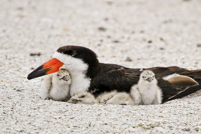 Black Skimmers drag the lower half of their vibrant bills through the water to catch small fish as they whisk over oceans, bays, and saltmarshes. Up to 25 percent of the total Texas population nests on islands in Galveston Bay. Read More