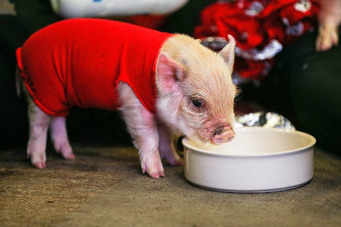 What is it? A type of potbellied pig that grows to be about 50-60 pounds.Where is it from? All over, though the USA is one of the largest markets.Where is it legal to own? Check out this list of cities that have made special provisions for pet pigs.