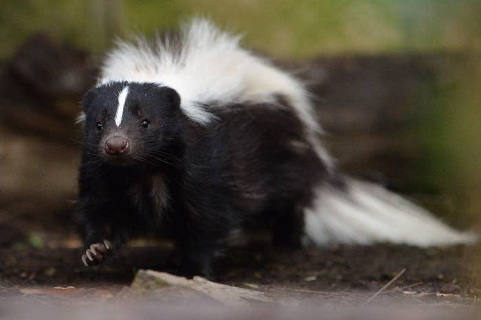 What is it? A skunk.Where is it from? North and South America, mostly.Where is it legal to own? Without a permit? Iowa and Wyoming.