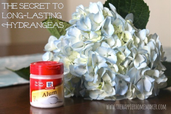 Alum will help your hydrangeas stay perky.