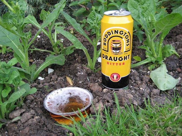 And beer helps kill slugs.