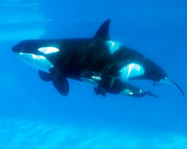 SeaWorld Trainers Are No Longer Allowed In Water With Whales, Court Rules